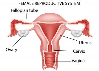 Female reproductive system showing where cervix is located