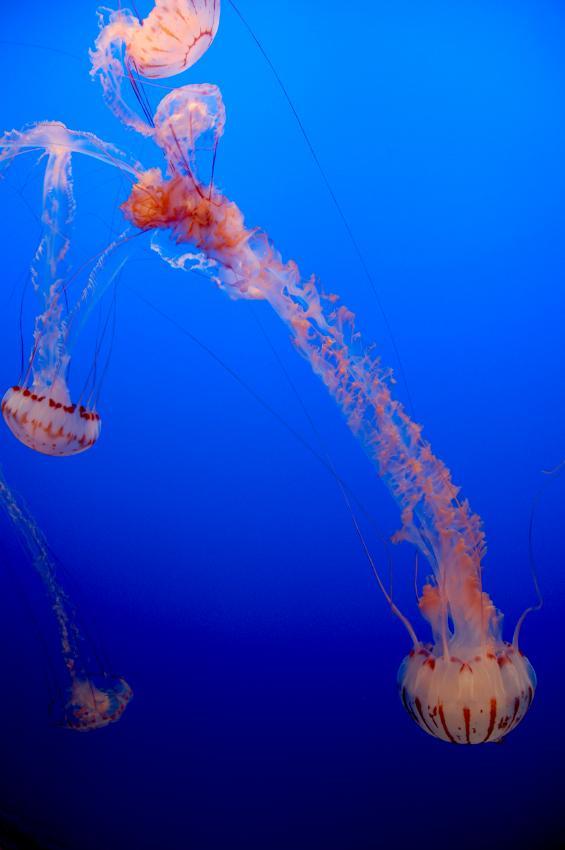 https://cf.ltkcdn.net/sanfrancisco/images/slide/10215-565x850-jellyfish.jpg