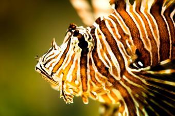 https://cf.ltkcdn.net/sanfrancisco/images/slide/10224-850x565-8lion-fish.jpg