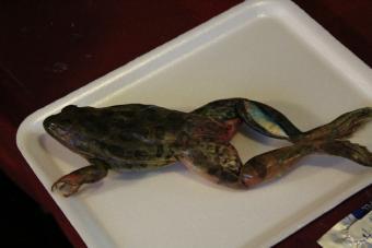 Dorsal side of frog specimen