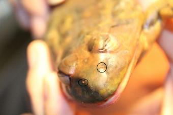Frog nostrils
