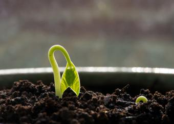 mung bean sprout