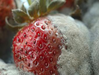 mold on stawberry