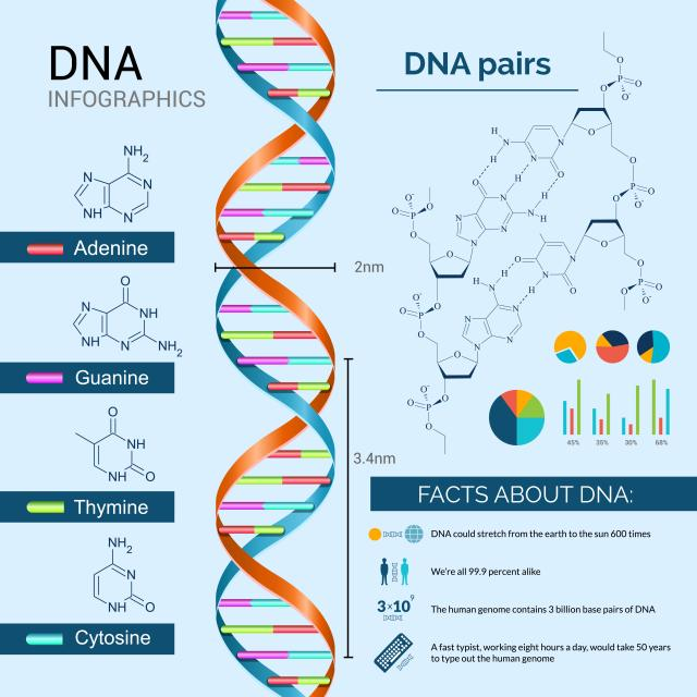 DNA base pairing