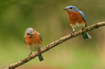 Eastern bluebirds showing how to get started with birdwatching