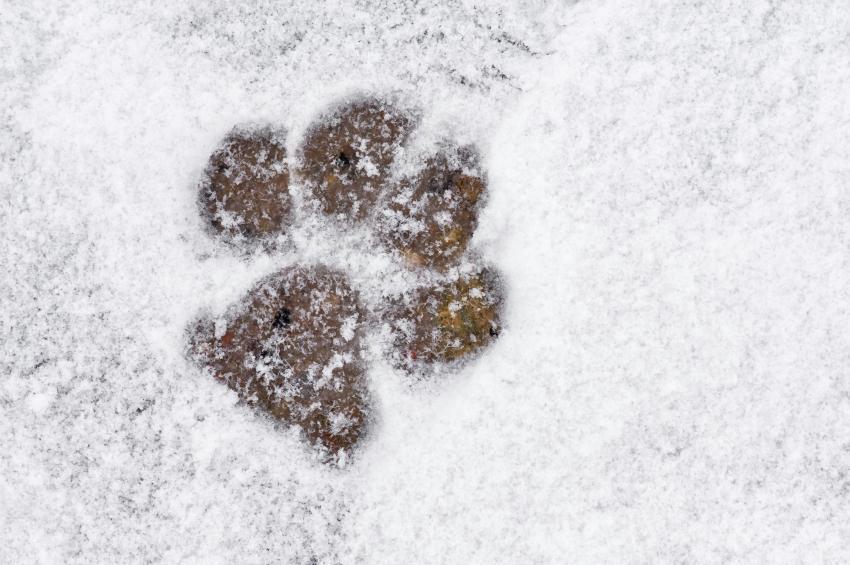 Animal tracks in snow lovetoknow animal tracks in snow publicscrutiny Choice Image