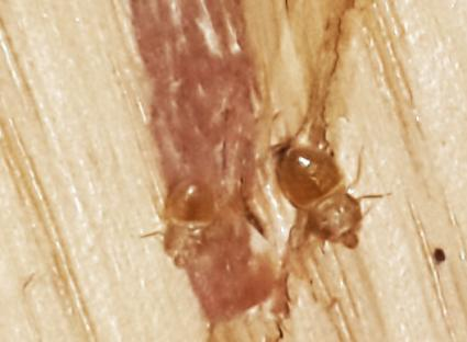 bed bug closeup