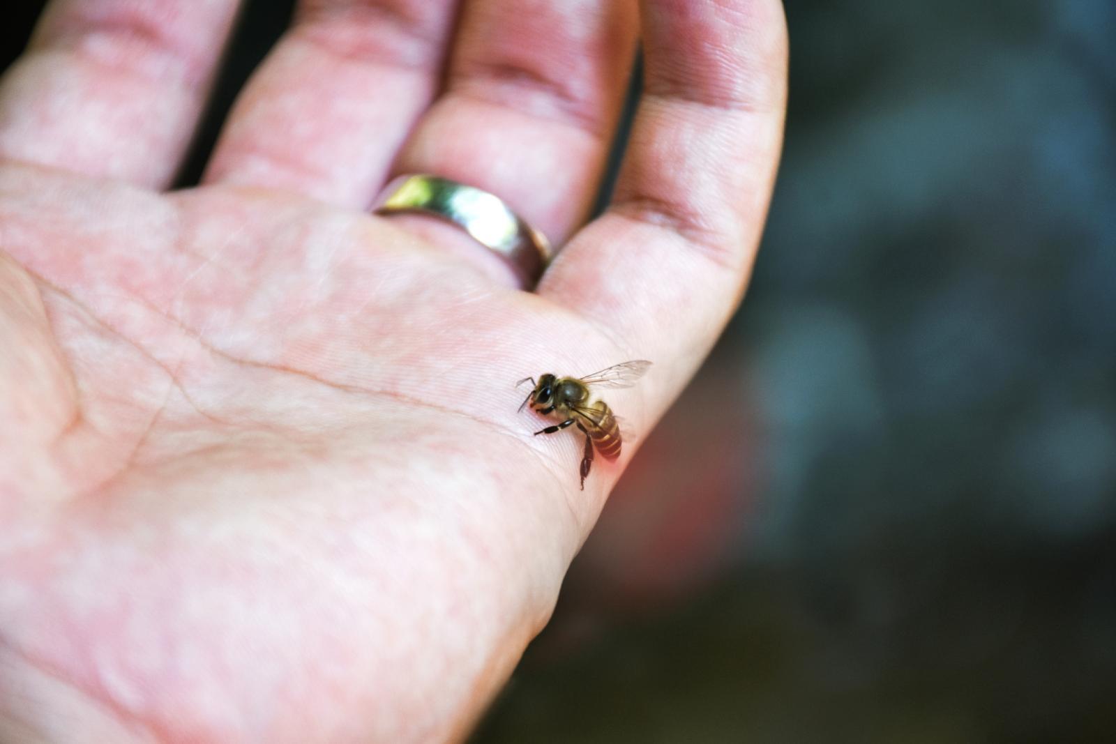 Honey Bee stinging
