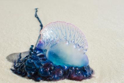 Bluebottle on sand