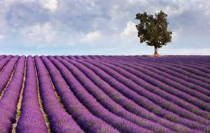 Beautiful view of a lavender farm