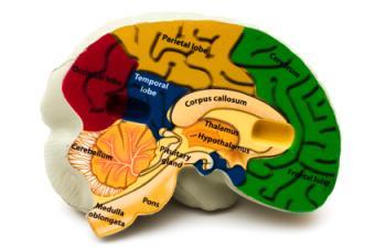 Human Thalamus