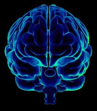 Narcolepsy Brain