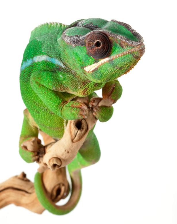 Mitzio-Panther-Chameleon.jpg