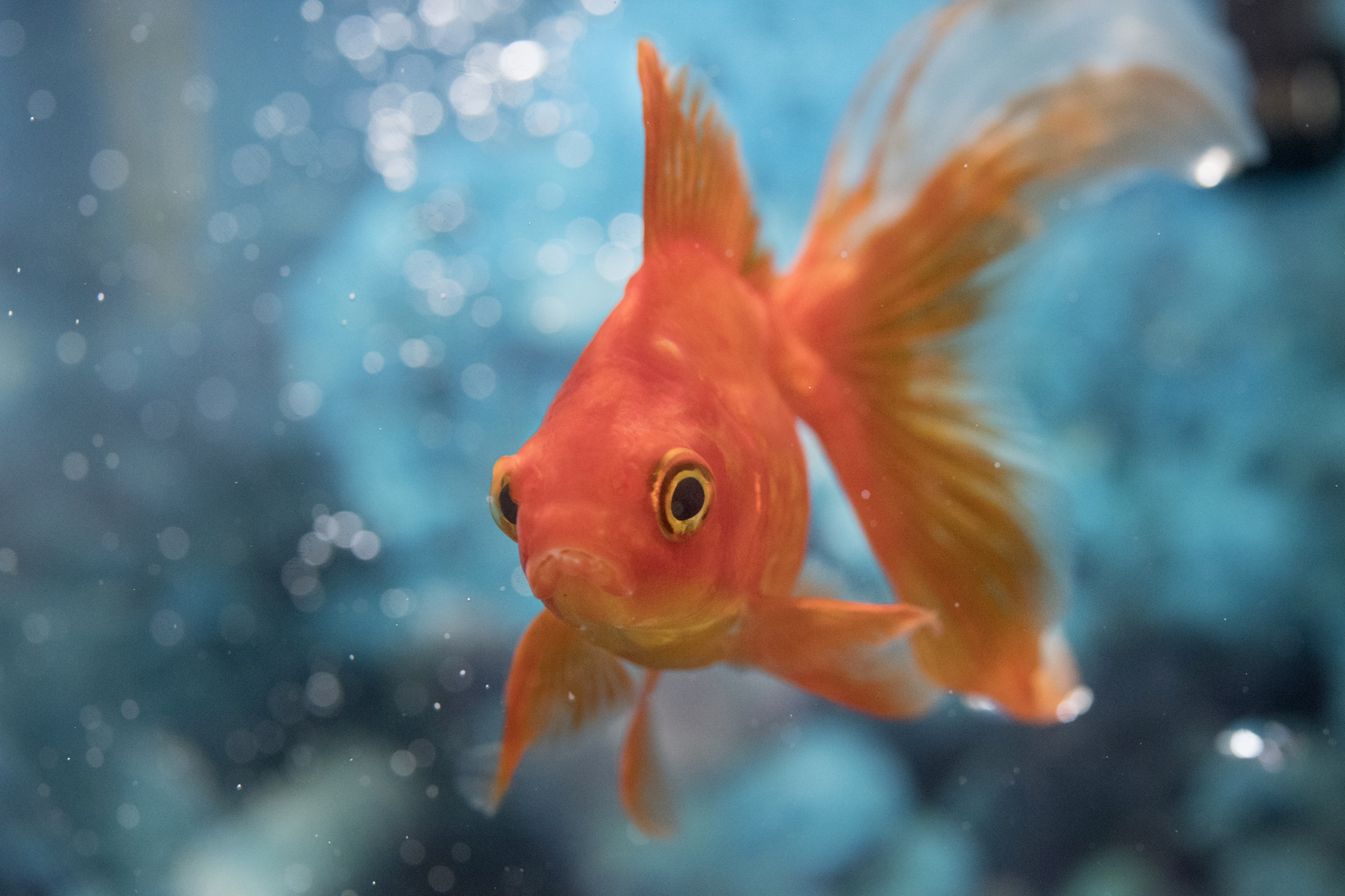 Good Pet Goldfish Names Lovetoknow