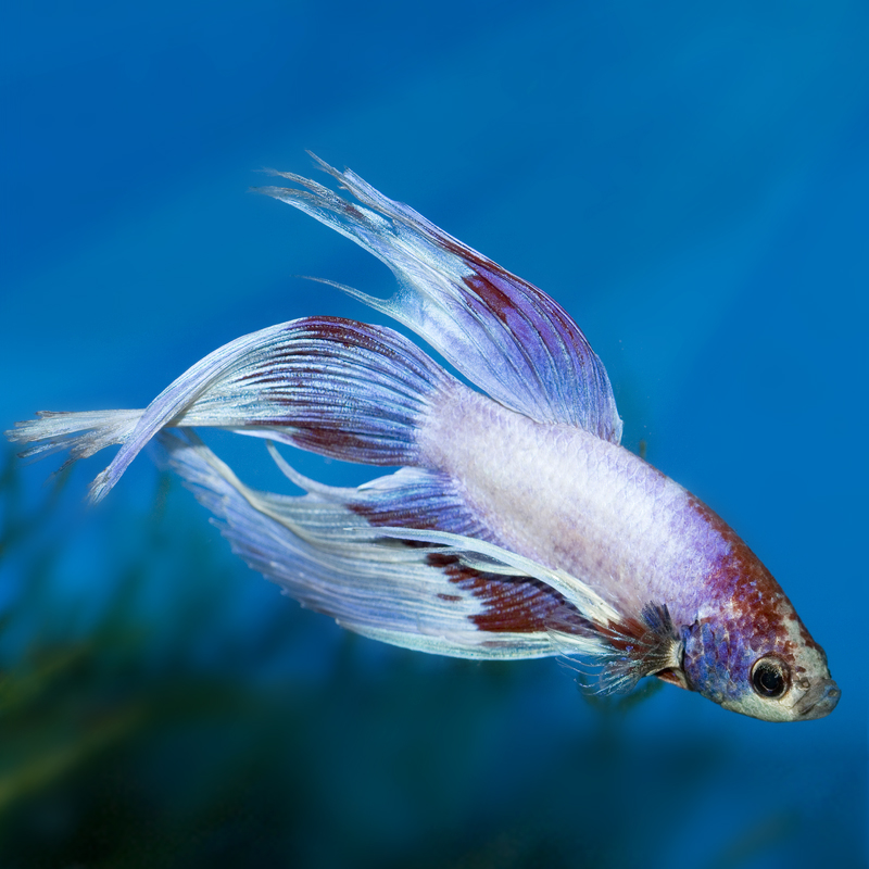 White-and-red-Veiltail-Betta-copy.jpg