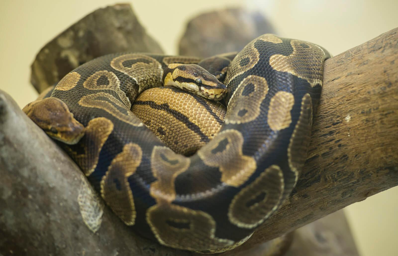 Ball Python Habitat Lovetoknow