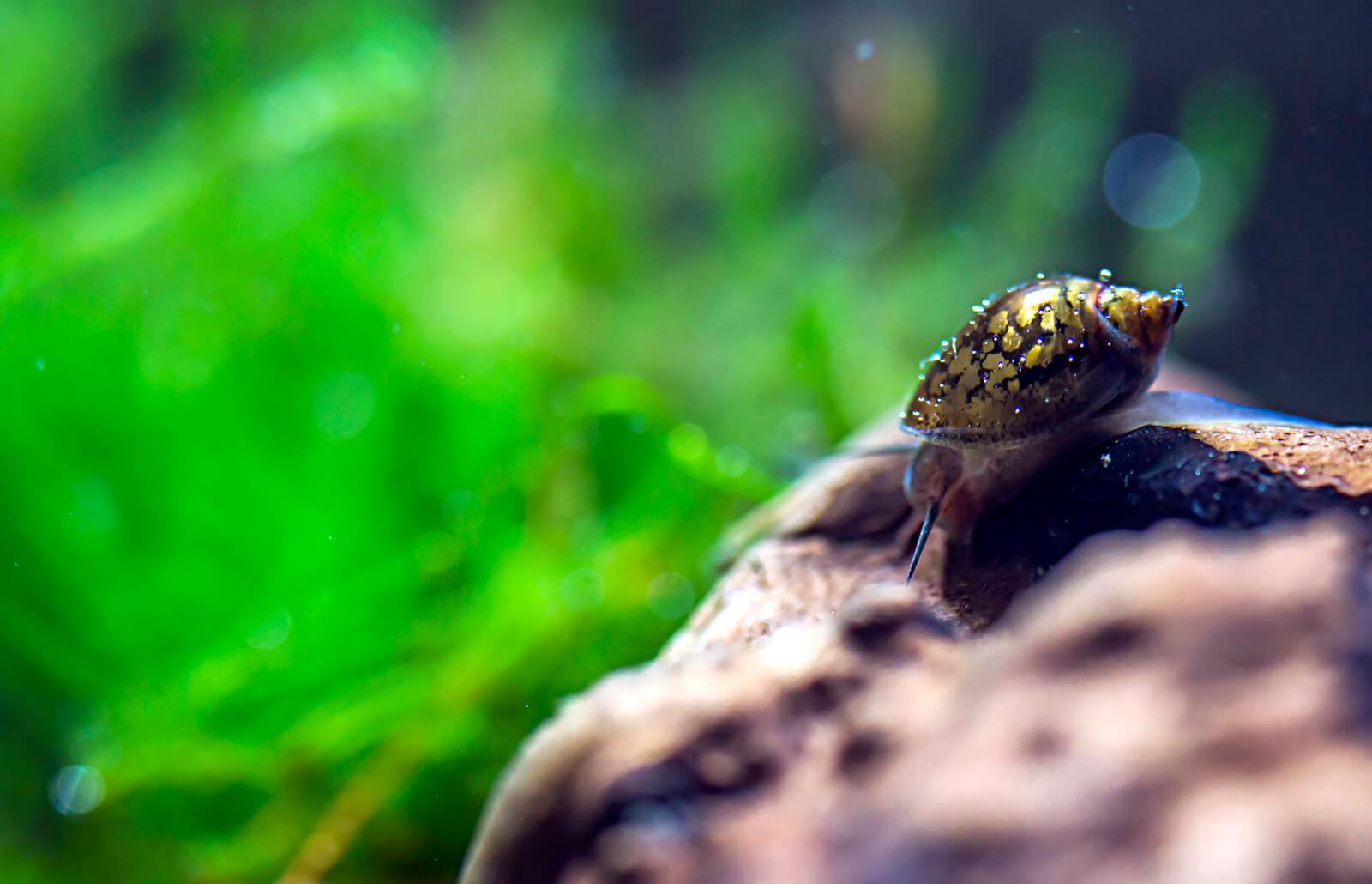 Aquarium Snail Types Lovetoknow