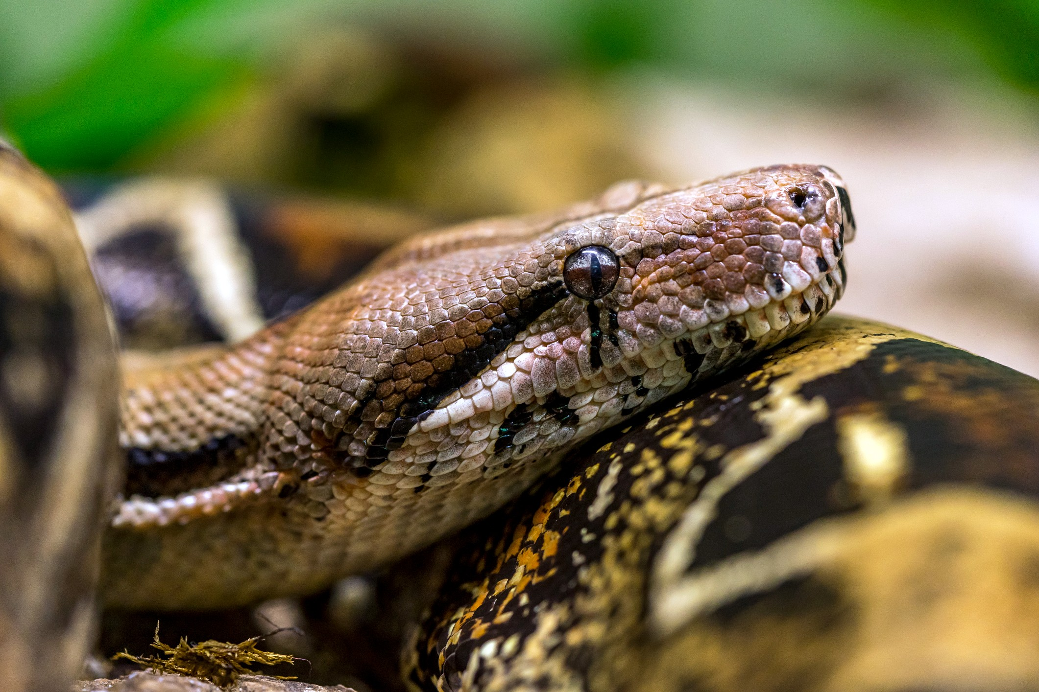 Boa Constrictor Pet Facts And Care Guide Lovetoknow