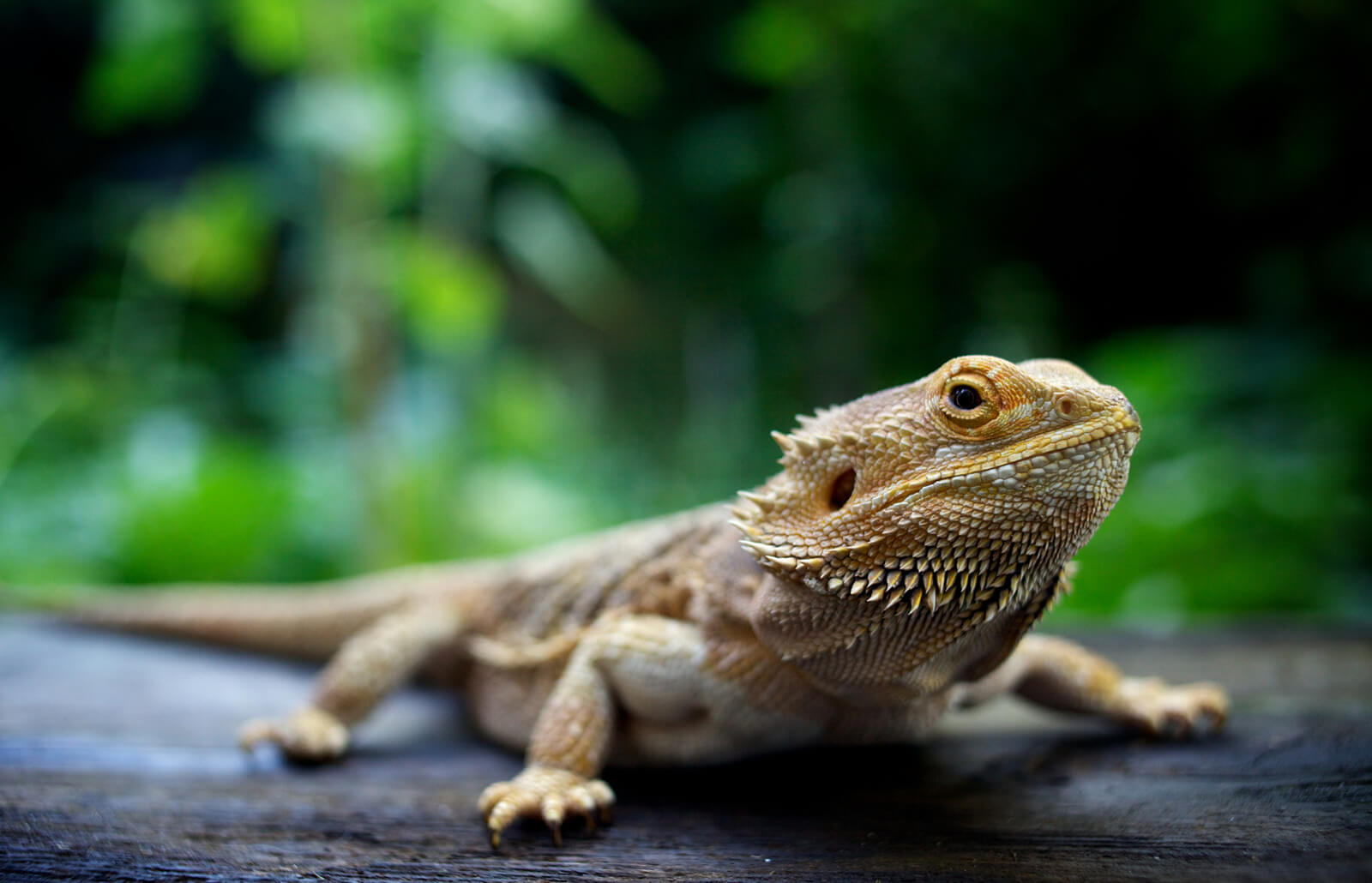 Bearded Dragon Facts And Pet Care Lovetoknow