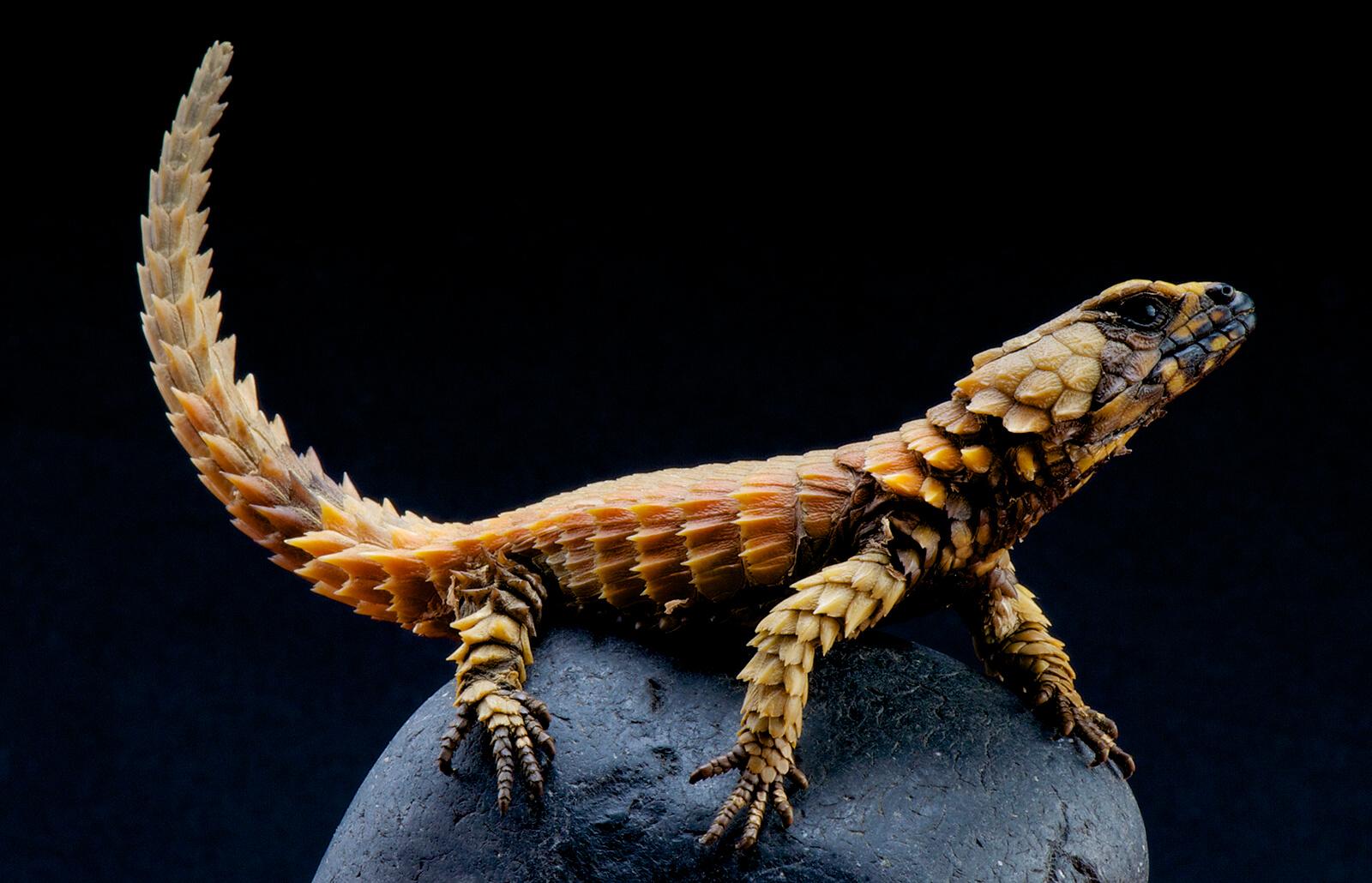 Do Armadillo Lizards Make Good Pets Lovetoknow