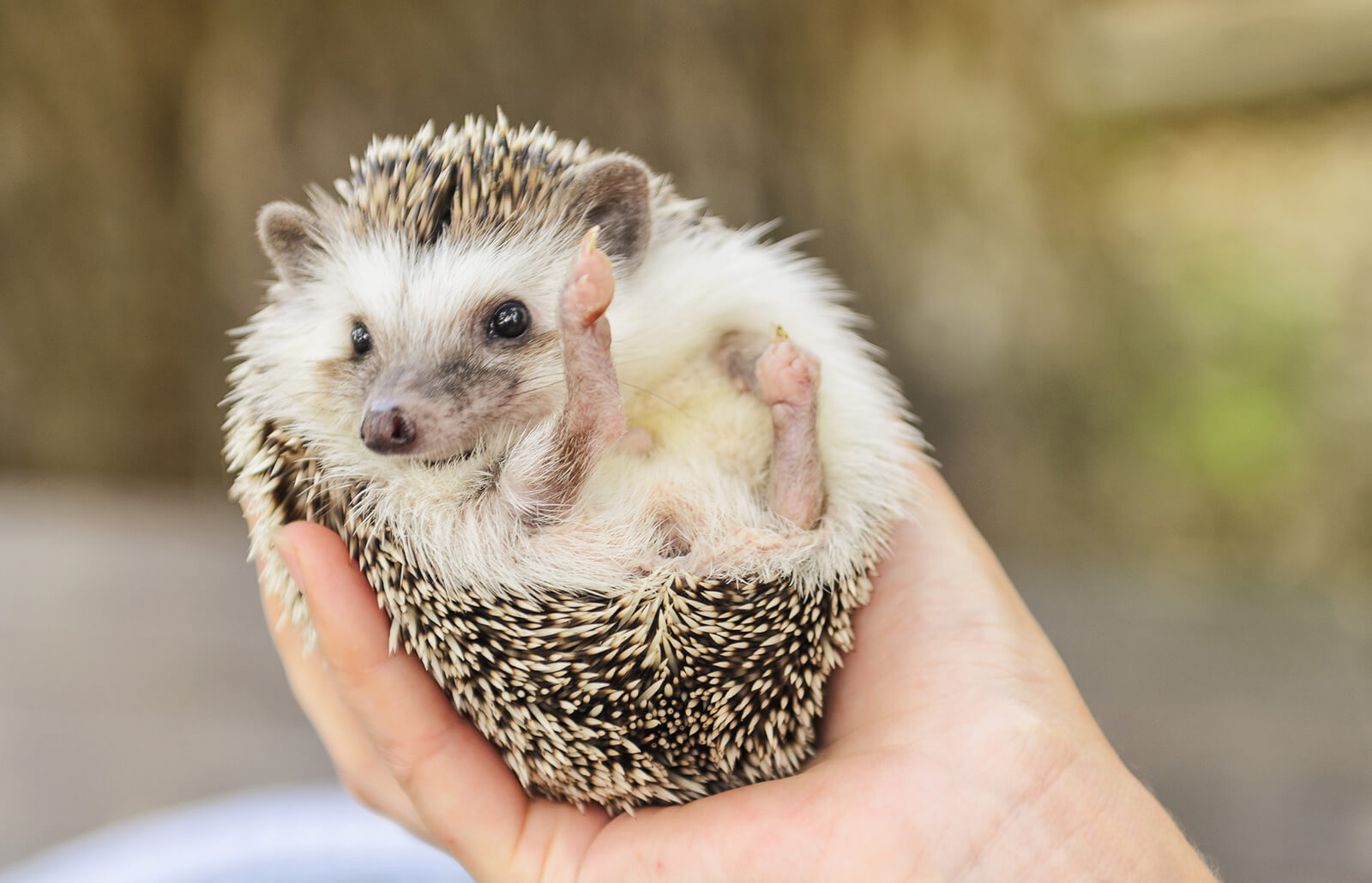 Pet Hedgehog Costs Facts And Care Lovetoknow