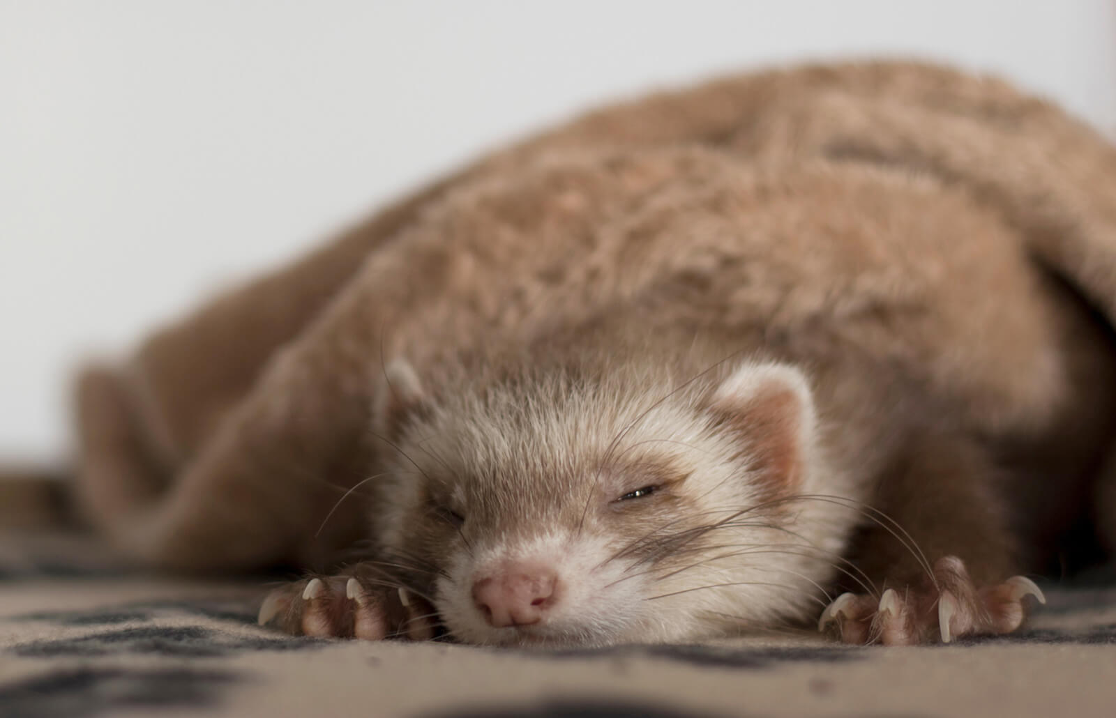 What Are The Warning Signs Of A Ferret Dying Lovetoknow
