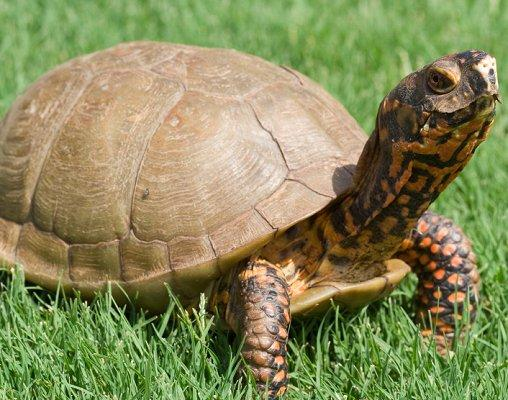 Pictures of Box Turtles Slideshow