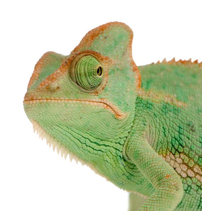 Image result for yemen chameleon