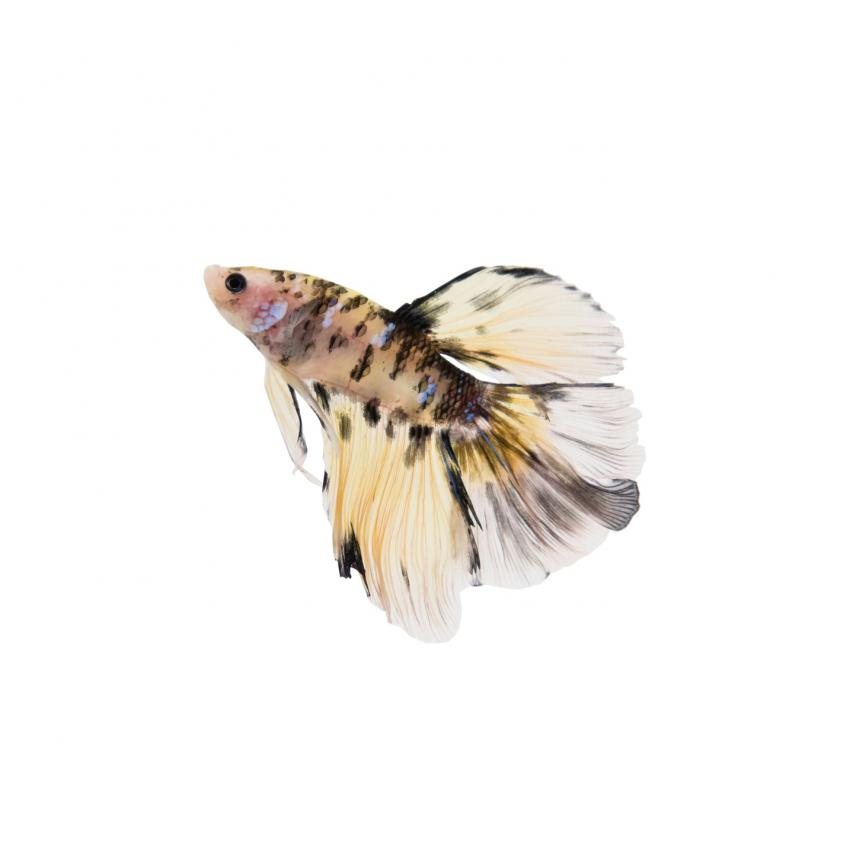 https://cf.ltkcdn.net/small-pets/images/slide/240156-850x850-siamese-fighting-fish.jpg