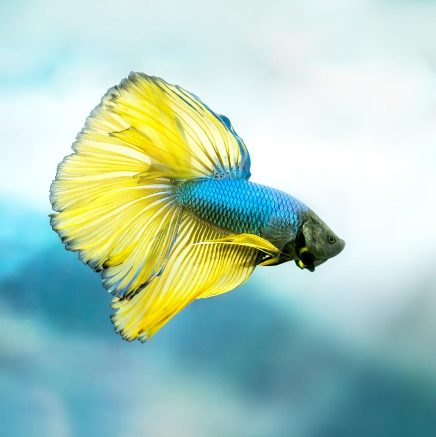 https://cf.ltkcdn.net/small-pets/images/slide/240167-849x850-halfmoon-betta-fish.jpg
