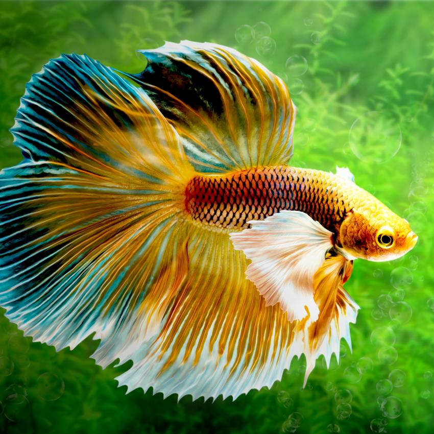 https://cf.ltkcdn.net/small-pets/images/slide/240168-850x850-betta-siamese-fish.jpg