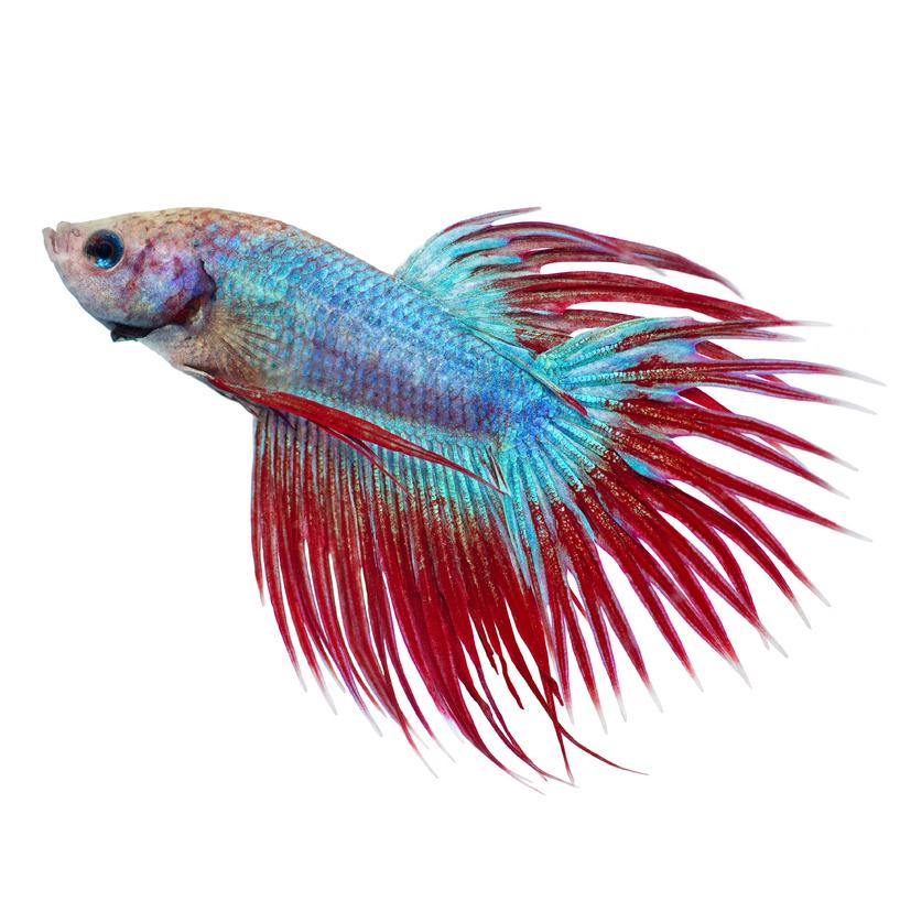 https://cf.ltkcdn.net/small-pets/images/slide/240180-817x818-Red-and-blue-Crowntail-Betta.jpg