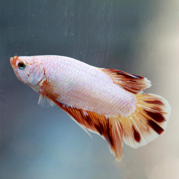 https://cf.ltkcdn.net/small-pets/images/slide/240184-690x690-Cambodian-Dalmatian-Betta-copy.jpg