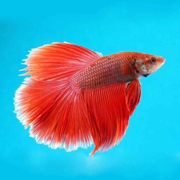 https://cf.ltkcdn.net/small-pets/images/slide/240197-736x737-Red-Halfmoon-Betta.jpg