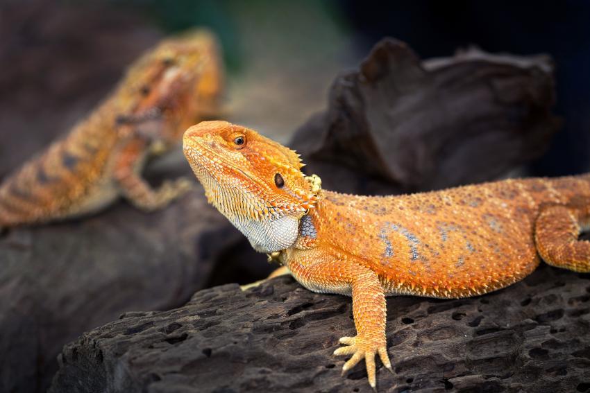 https://cf.ltkcdn.net/small-pets/images/slide/268729-850x567-orange-bearded-dragon.jpg