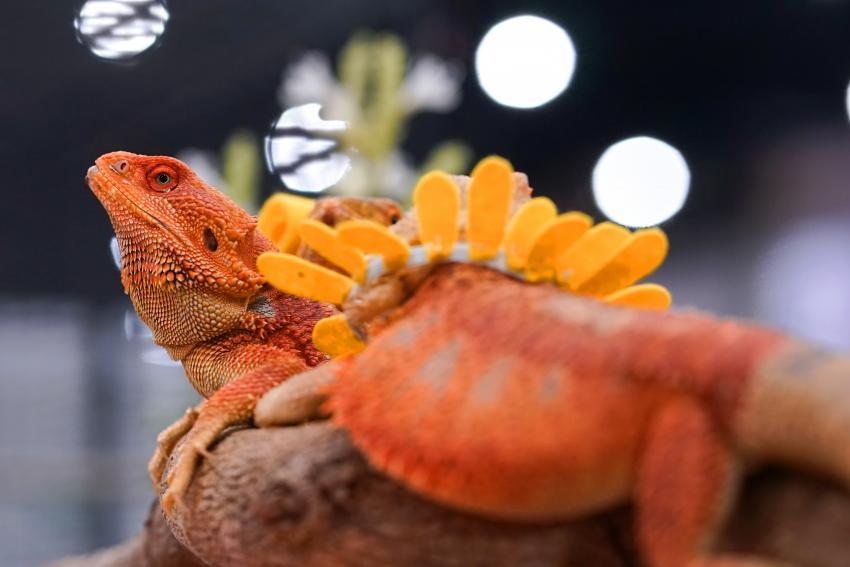https://cf.ltkcdn.net/small-pets/images/slide/268731-850x567-red-beared-dragon.jpg