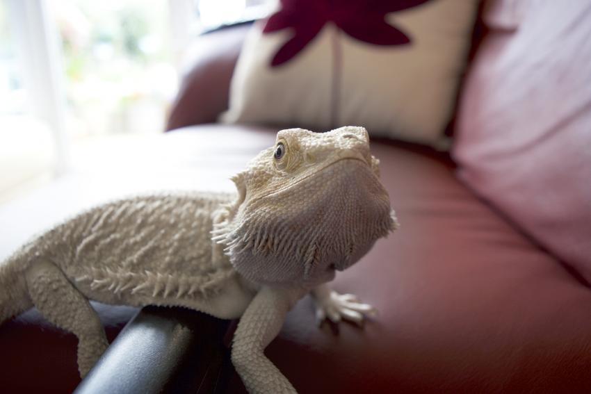 https://cf.ltkcdn.net/small-pets/images/slide/268749-850x567-white-beared-dragon.jpg