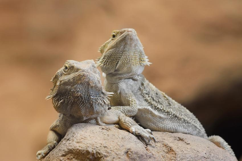 https://cf.ltkcdn.net/small-pets/images/slide/268755-850x567-dragons-with-less-melanin.jpg