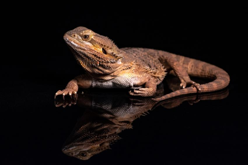 https://cf.ltkcdn.net/small-pets/images/slide/268757-850x567-leatherback-learded-dragon-.jpg