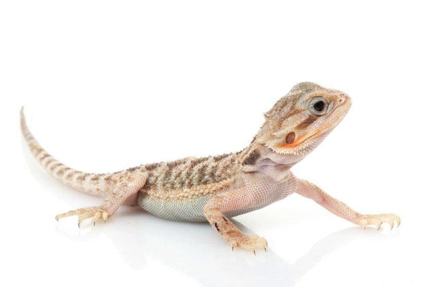 https://cf.ltkcdn.net/small-pets/images/slide/268782-850x567-translucent-bearded-dragon.jpg