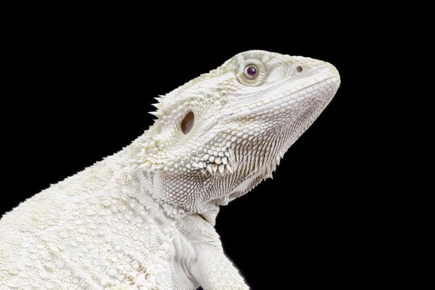 https://cf.ltkcdn.net/small-pets/images/slide/268794-850x567-albino-beared-dragon.jpg