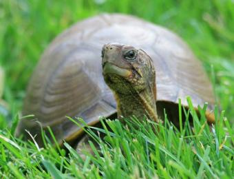 Pictures of Box Turtles