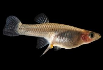 How Do Guppies Give Birth?