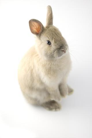 Three-month-old Netherland Dwarf rabbit