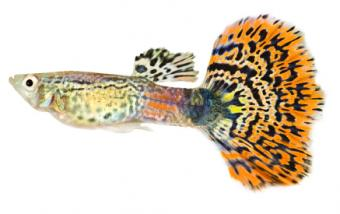 Guppy Types and Species