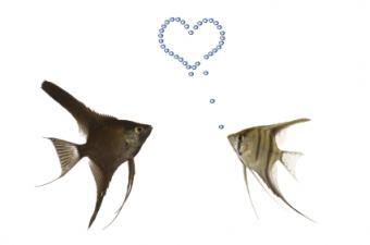Angelfish in love