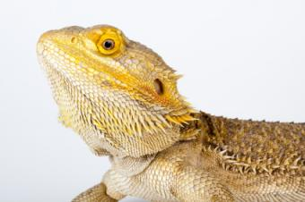 What Should I Name My Bearded Dragon?