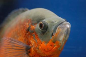 Oscar Fish Questions
