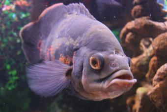 Oscar Fish Pictures