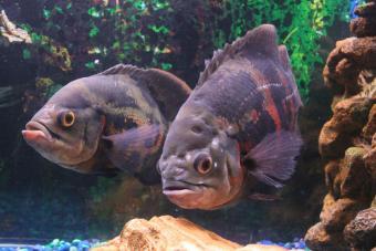 https://cf.ltkcdn.net/small-pets/images/slide/144806-850x567r1-twooscarfish.jpg